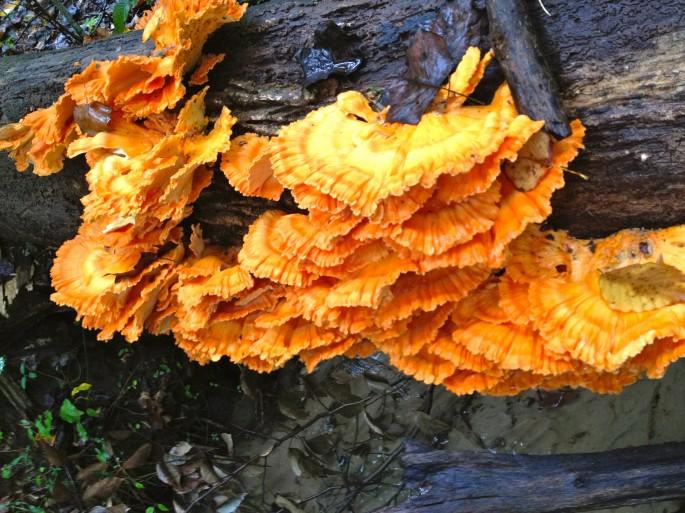 Wild Mushroom Hunt, Chicken of the Woods