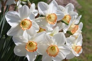 Gloucester daffodils